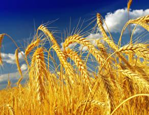 Картинки Поля Крупным планом Пшеница Колосок Природа