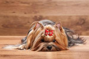 Фотографии Собаки Йоркширский терьер Взгляд Животные