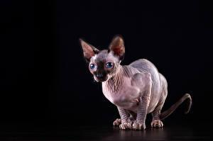 Картинка Коты Сфинкс кошка Черный фон Животные