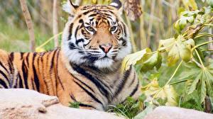 Картинки Тигры Взгляд Животные