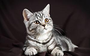 Фото Кошки Взгляд British Животные