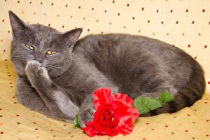 Обои Кошки Розы Серый Лапы Животные фото