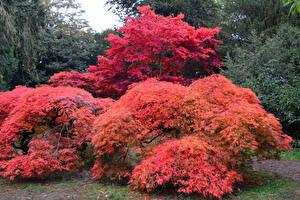Обои Великобритания Парки Осенние Кусты Деревья Westonbirt Arboretum