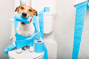 Картинки Собаки Джек-рассел-терьер Смотрит Туалет Забавные Животные