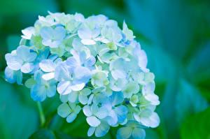 Обои Гортензия Голубой Цветы фото