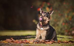 Обои Собаки Осень Язык (анатомия) Овчарка Животные фото