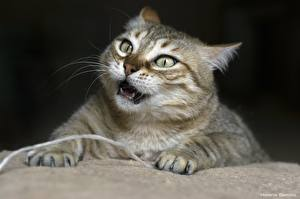 Фотография Кошки Лапы Взгляд Животные