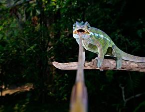 Обои Ветки Хамелеон Язык (анатомия) Животные фото