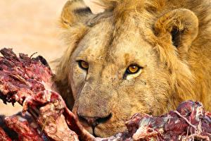 Фото Большие кошки Львы Морда Взгляд Животные