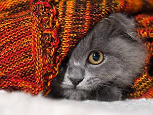 Обои Кошки Глаза Серый Животные фото
