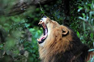 Обои Львы Оскал Зубы Животные фото