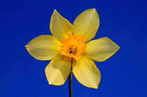 Фото Нарциссы Желтые Цветной фон Цветы