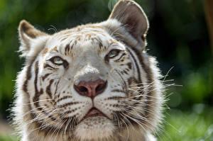 Картинка Тигры Морда Белый Усы Вибриссы ©Tambako The Jaguar Животные