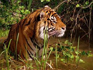 Обои Тигры Трава Животные фото