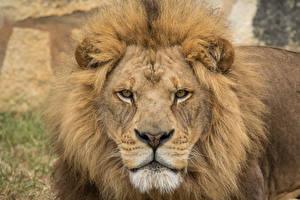 Обои Львы Взгляд Морда Животные
