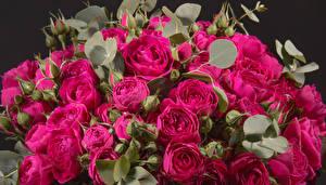 Фотография Розы Крупным планом Бордовый Бутон Цветы