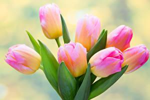 Обои Тюльпаны Крупным планом Цветы фото