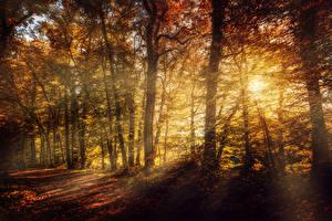 Обои Времена года Осень Леса Деревья Лучи света Листья Природа фото