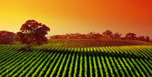 Фотографии Австралия Поля Рассветы и закаты Деревья Barossa Valley wine region Природа
