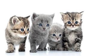 Фотографии Кошки Котята Взгляд Белым фоном Четыре 4 Животные