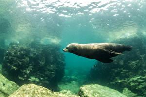 Фотография Подводный мир Морские котики
