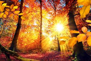 Обои Времена года Осень Деревья Листья Лучи света Ствол дерева Солнце Природа фото