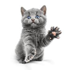Фотография Кошки Белый фон Котята Серый Лапы Взгляд Животные
