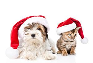 Картинки Рождество Собаки Кошки Котята Йоркширский терьер Шапки Вдвоем Белый фон