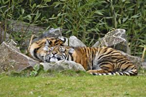 Обои Тигры Камни Трава Amur Животные фото