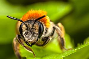 Фотографии Пчелы Вблизи Насекомые Макросъёмка