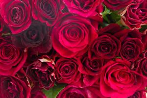 Фотография Розы Крупным планом Много Бордовый Цветы
