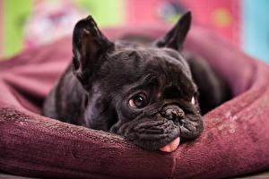 Фотографии Собаки Французский бульдог Бульдог Взгляд Черный Животные