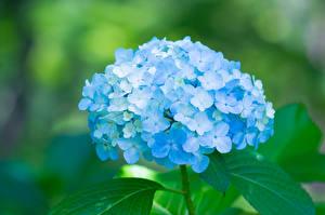 Фотографии Гортензия Голубой Цветы