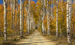 Обои Дороги Осень Деревья Березы Природа фото