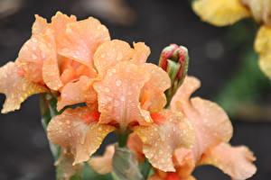Фото Ирисы Крупным планом Капля Цветы