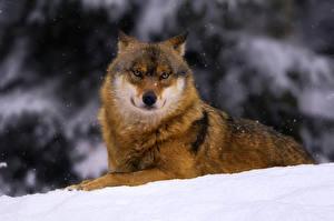 Обои Волки Взгляд Снег Животные фото