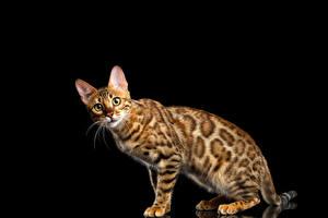 Фотографии Кошки Бенгальская кошка Черный фон Взгляд Gold Животные