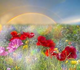 Фото Маки Радуга Цветы