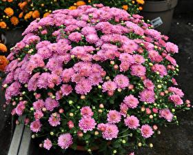 Обои Хризантемы Вблизи Розовый Цветы