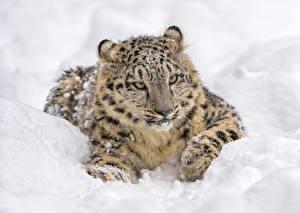 Фотография Барсы Снег Взгляд Животные