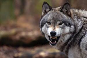 Фотография Волки Оскал Зубы Взгляд Животные