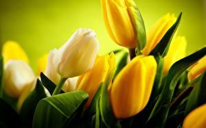 Обои Тюльпаны Крупным планом Желтый Цветы фото