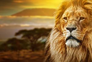 Фотография Лев Африка Морда Смотрят животное