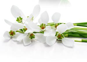 Обои Орхидеи Крупным планом Белый фон Белый Цветы фото