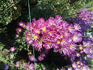 Обои Хризантемы Розовая Цветы