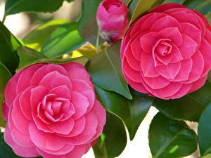 Картинка Камелия Крупным планом Розовый Двое Бутон Листья Цветы