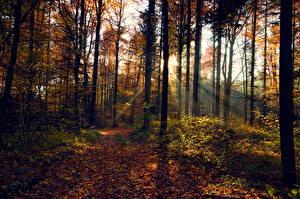 Обои Леса Осень Деревья Ствол дерева Листья Лучи света Природа фото