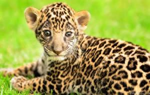 Обои Ягуары Детеныши Взгляд Животные фото