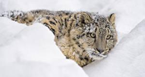 Обои Барсы Снег Взгляд Животные фото