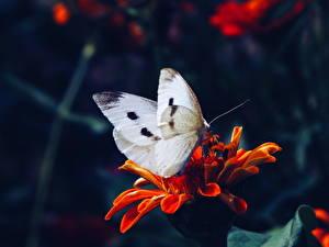 Обои Бабочки Крупным планом Животные Цветы фото